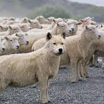 Post image for In Sheep's Covering